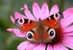 Основа Фотоколлажа Бабочка