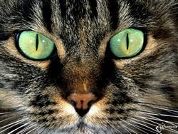 Основа Фотоколлажа Зоркий взгляд тысяч кошачьих глаз